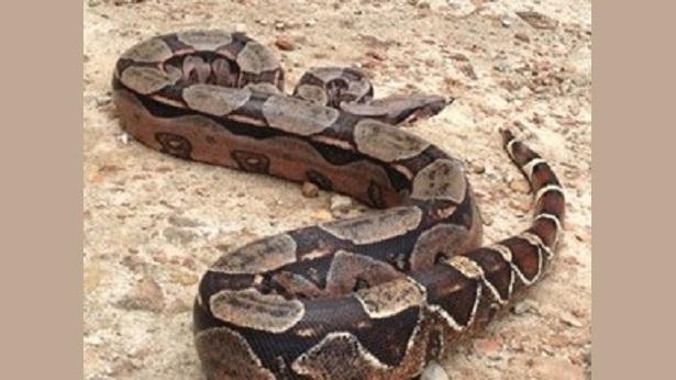 São Felipe: Cobra de dois metros é encontrada em escola - sao-felipe, destaque