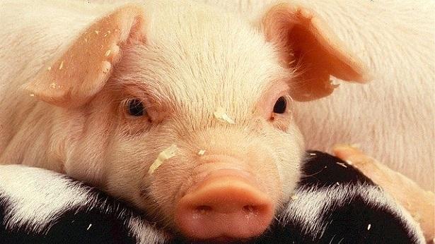 Porto Seguro: Caminhão com carga de porcos é roubado - porto-seguro
