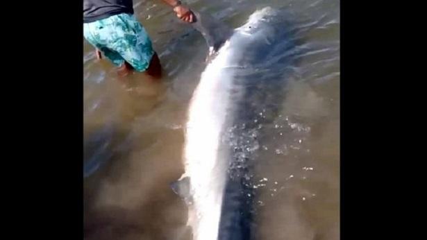 Ituberá: Carne de tubarão é repartida após animal ser encontrado morto em praia - itubera, bahia