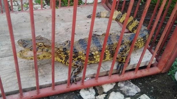 Ipiaú: Espécie de jacaré ameaçada de extinção é capturado por bombeiros - noticias, ipiau, bahia