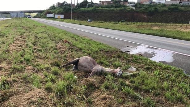 SAJ: Cavalo é encontrado morto às margens da BR-101 - saj, noticias, destaque