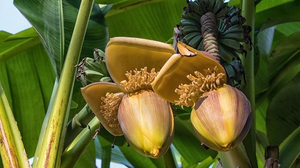 Tese na UFRB identifica isolado de fungo capaz de controlar a pior doença da bananeira - educacao, bahia