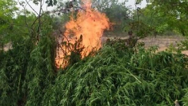 Abaré: Plantação de maconha é erradicada no 'Zoeiro' - policia, itaparica, destaque, bahia