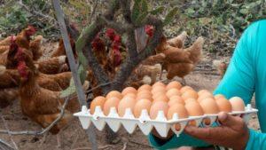 Juazeiro: Produção de ovos de comunidades rurais ganha espaço em mercado da região - juazeiro, bahia