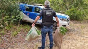 Conde: Três mil pés de maconha são erradicados - policia, conde, bahia