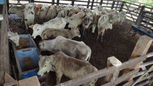 Polícia Civil de SAJ recupera próximo a Valença bovinos e cavalos furtados na região - saj, policia, destaque, bahia