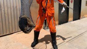 Barreiras: Tamanduá-mirim é resgatado por bombeiros após aparecer em muro de casa - barreiras, bahia
