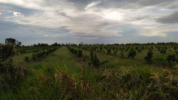 Jaguaripe: Moradores reclamam do mau cheiro causado por esterco de galinha usado em plantação de laranja - noticias, jaguaripe, destaque