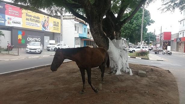 SAJ: Animal solto é flagrado na Avenida Juracy Magalhães - saj, noticias, destaque, bahia